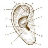 Vektor, der menschliches Ohr auf weißem Hintergrund graviert stock abbildung