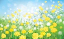 Vektor des Frühlingshintergrundes mit weißem Löwenzahn. Stockfoto