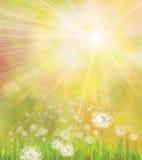 Vektor des Frühlingshintergrundes mit weißem Löwenzahn. Stockbild