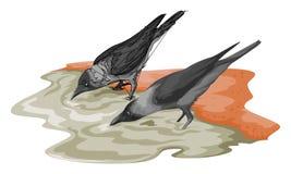 Vektor des Trinkwassers der Krähe Stockfotos