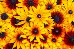 vektor för detaljerad teckning för bakgrund blom- växt för Svart-synad susan eller Rudbeckiahirta, bruna betty, gloriosatusenskön fotografering för bildbyråer