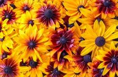 vektor för detaljerad teckning för bakgrund blom- växt för Svart-synad susan eller Rudbeckiahirta, bruna betty, gloriosatusenskön royaltyfri fotografi