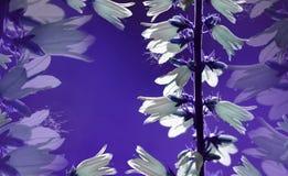 vektor för detaljerad teckning för bakgrund blom- Klockor för vita blommor på en violett bakgrund Blommasammansättningsnärbild pl Royaltyfria Foton