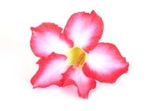 vektor för detaljerad teckning för bakgrund blom- Slut upp av den tropiska blommarosa färgadeniumen Öknen steg på isolerad vit Fotografering för Bildbyråer
