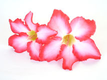 vektor för detaljerad teckning för bakgrund blom- Slut upp av den tropiska blommarosa färgadeniumen Öknen steg på isolerad vit Royaltyfri Foto