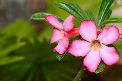 vektor för detaljerad teckning för bakgrund blom- Slut upp av den tropiska blommarosa färgadeniumen Royaltyfria Foton