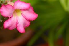 vektor för detaljerad teckning för bakgrund blom- Slut upp av den tropiska blommarosa färgadeniumen Royaltyfria Bilder