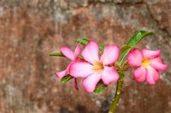 vektor för detaljerad teckning för bakgrund blom- Slut upp av den tropiska blommarosa färgadeniumen Fotografering för Bildbyråer