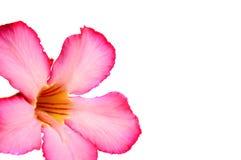 vektor för detaljerad teckning för bakgrund blom- Slut upp av den tropiska blommarosa färgadeniumen Royaltyfri Foto