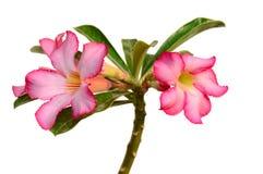 vektor för detaljerad teckning för bakgrund blom- Slut upp av den tropiska blommarosa färgadeniumen Arkivfoto