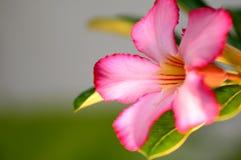 vektor för detaljerad teckning för bakgrund blom- Slut upp av den tropiska blommarosa färgadeniumen Royaltyfri Fotografi