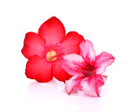 vektor för detaljerad teckning för bakgrund blom- Slut upp av den tropiska blommarosa färgadeniumen des Royaltyfria Foton