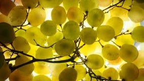 vektor för grön illustration för gruppdruvor realistisk Mogen frukt upp till ljuset Royaltyfri Foto