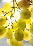 vektor för grön illustration för gruppdruvor realistisk Mogen frukt upp till ljuset Royaltyfria Foton