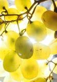vektor för grön illustration för gruppdruvor realistisk Mogen frukt upp till ljuset Fotografering för Bildbyråer