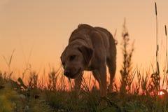 vektor för silhouette för bakgrundshundgrunge Gullig labradorhund framme av den härliga kulöra solnedgången arkivfoto