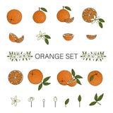 Vektor Farbsatz von den Orangen, die auf weißem Hintergrund lokalisiert wurden lizenzfreie abbildung
