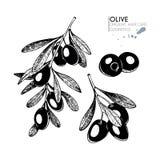 Vektor gelegt von den Haarpflegebestandteilen Organische Hand gezeichnete Elemente Bauernhofmarktgemüse Olive Branch vektor abbildung