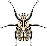 Vektor Goliathus-Käfer Lizenzfreie Stockfotos