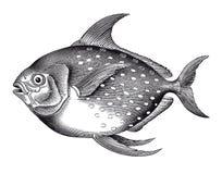 Vektor-hoher Detail Opah-Fisch-Stich Stockbild
