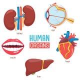Vektor-Illustration von menschlichen Organen lizenzfreie abbildung