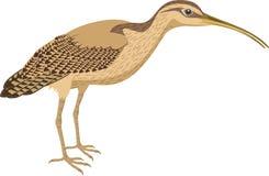 Vektor-lang berechneter großer Brachvogel Stockfoto