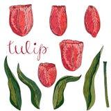 Vektor lokalisierte korallenrote Tulpe auf Weiß lizenzfreie abbildung
