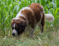 Vektor lokalisierter Hund Stockfotografie