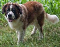 Vektor lokalisierter Hund Lizenzfreie Stockfotografie