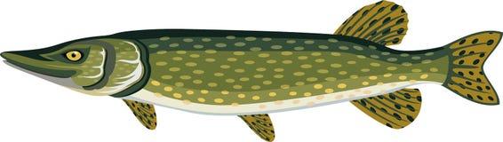 Vektor-Pike-Fischillustration auf Weiß Stockfoto