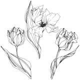 Vektor Tulip Black und weiße gravierte Tintenkunst Botanische mit Blumenblume Lokalisiertes Tulpenillustrationselement vektor abbildung