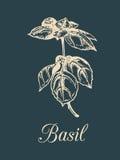 Vektorbasilikum-Niederlassungsillustration auf dunklem Hintergrund Hand gezeichnete Skizze der Würzeanlage lokalisiert Botanische Stockbild