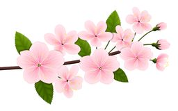 Vektorbild einer Niederlassung der blühenden Kirsche oder der Kirschblütes lizenzfreie abbildung