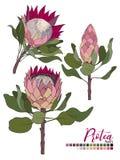 Vektorblumenstraußdesign: Blüte Proteablumen und -blätter Hochzeitsvektor laden Karte ein lizenzfreie abbildung
