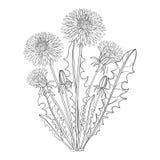 Vektorbukett med översiktsmaskros- eller Taraxacumblomman, knoppen och sidor som isoleras på vit Blom- beståndsdelar för vårdesig stock illustrationer