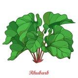 Vektorbuske med översiktsrabarber- eller Rheumgrönsaken i gräsplan som isoleras på vit bakgrund Utsmyckat konturblad av rabarberg royaltyfri illustrationer
