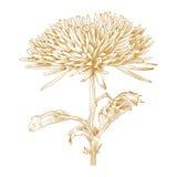 Vektorchrysanthemeblume. Lizenzfreie Stockbilder
