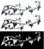 Vektordruva som svamlar vinrankan med druvabär, sidor Druvavinranka av violetta och gröna färger som isoleras på svartvitt Frukt  Royaltyfria Foton