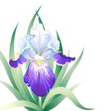 Vektorfeiertagskarte mit Irisblume stock abbildung