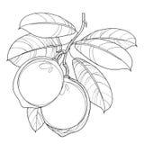 Vektorfilial med översiktslimefruktfrukt och utsmyckade sidor i svart som isoleras på vit bakgrund Citrus limefrukt för tropisk v vektor illustrationer