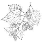 Vektorfilial med den översiktsmullbärsträdet eller morusen med det mogna bäret och sidor i svart som isoleras på vit bakgrund Mul stock illustrationer