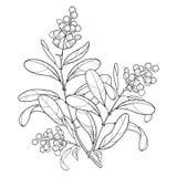 Vektorfilial med liguster eller ligustrumen för giftig växt för översikt Fruktgrupp, bär och utsmyckat blad i svart som isoleras  vektor illustrationer