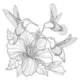 Vektorflygkolibri eller Colibri och utsmyckad hibiskus i konturstil som isoleras på vit bakgrund Exotisk fågel för översikt Royaltyfria Bilder