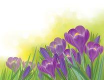 Vektorfrühlings-Krokusblumen auf Frühlingshintergrund Lizenzfreies Stockbild