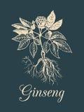 Vektorginsengillustration auf dunklem Hintergrund Hand gezeichnete Skizze der Heilpflanze Botanische Zeichnung in der Stichart Lizenzfreies Stockfoto