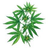 Vektorgrupp med sativa översiktscannabis eller indica cannabis eller marijuana Förgrena sig, göra grön sidor och kärna ur isolera stock illustrationer