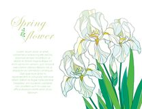 Vektorhörnsammansättning med översiktsbuketten av den vita irisblomman för tre pastell, knoppen och gräsplanbladet som isoleras p vektor illustrationer