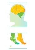 Vektorikone des menschlichen Gehirns Medizinisches infographic Vorbildlicher Kopf weg geschnitten Stockbild