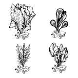 Vektorillustration av spenat, bindsallat, havre, arugula Arkivbilder