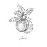 Vektorillustration der Pflaumenfrucht Lizenzfreies Stockfoto